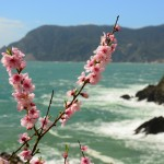 Cherry blossoms at Cinque Terre