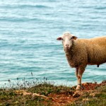 Sheep on Figueira beach